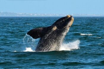 Southern right whale, Breaching, Hermanus, Overberg, Whale Coast