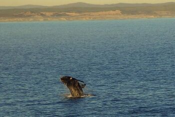 Southern right whale breaching, Hermanus, Overberg, Whale Coast