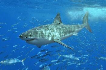 Gansbaai, great white shark, boat trip, Overberg, Whale Coast